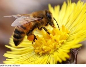 honey-bee[1]