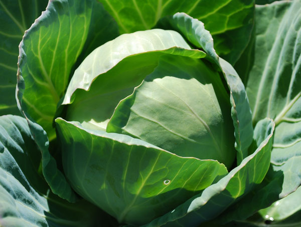 growing-cabbage-cls02-lg